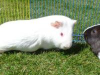 Guinea Pig - Cosmo - Medium - Adult - Male - Small &