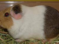 Guinea Pig - Crepe - Medium - Young - Male - Small &