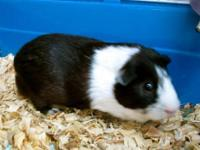Guinea Pig - Dax - Small - Adult - Male - Small &