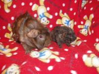 Guinea Pig - Demetri & Neely - Medium - Baby - Male