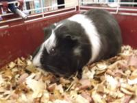 Guinea Pig - Dolly - Medium - Young - Female - Small &