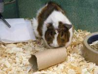 Guinea Pig - Dunn - Small - Baby - Male - Small &