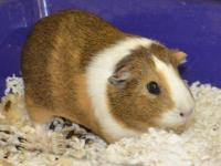 Guinea Pig - Dylan - Small - Young - Male - Small &