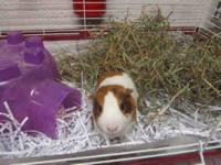 Guinea Pig - Ecru - Small - Adult - Female - Small &