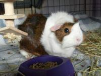 Guinea Pig - Elizabeth - Medium - Baby - Female - Small