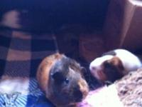 Guinea Pig - Ellen - Small - Senior - Female - Small &