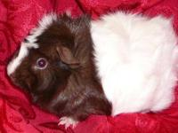 Guinea Pig - Female Guinea Pigs - Medium - Adult -