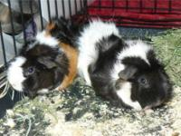 Guinea Pig - Gertie And Fergie - Medium - Young -