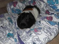 Guinea Pig - Ginger - Medium - Adult - Female - Small &