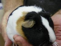 Guinea Pig - Guinea Pigs - Small - Adult - Female Have