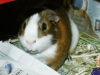 Guinea Pig - Guineapig - Medium - Adult - Male - Small