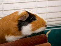 Guinea Pig - Guineas(many!!) - Medium - Young - Male