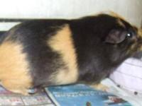 Guinea Pig - Hattie And Sweetie - Medium - Young -