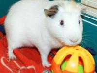 Guinea Pig - Jeffery - Small - Adult - Male - Small &