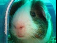 Guinea Pig - Jenkins - Small - Adult - Male - Small &