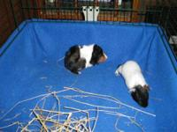 Guinea Pig - Jingle & Jangle - Medium - Baby - Male