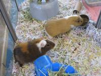 Guinea Pig - Joey & Louie - Small - Young - Male -