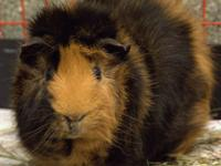 Guinea Pig - Kronk - Small - Young - Male - Small &
