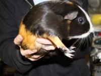 Guinea Pig - Lucky & Neo* - Medium - Adult - Male