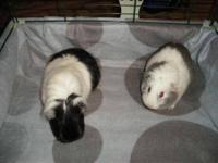 Guinea Pig - Luna & Cate - Medium - Adult - Female