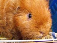 Guinea Pig - Malone - Small - Adult - Male - Small &
