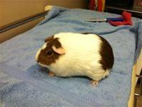 Guinea Pig - Mama Pig - Medium - Adult - Female - Small
