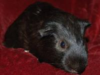 Guinea Pig - Marshmello - Medium - Young - Male - Small