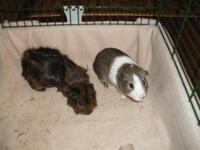 Guinea Pig - Martin & Walter - Small - Young - Male