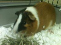 Guinea Pig - Mima - Small - Young - Small & Furry