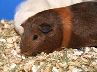 Guinea Pig - Miney - Small - Adult - Female - Small &