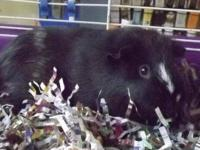 Guinea Pig - Minnie (the Guinea) - Small - Young -