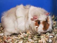 Guinea Pig - Molly - Small - Adult - Female - Small &