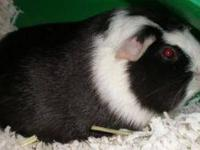 Guinea Pig - Moses - Small - Adult - Male - Small &