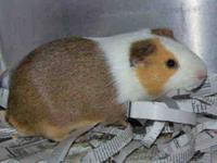 Guinea Pig - Mr - Medium - Adult - Male - Small &