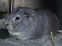 Guinea Pig - Murray - Small - Senior - Male - Small &