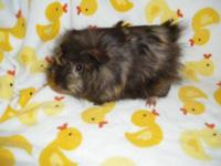 Guinea Pig - Nara & Babies - Medium - Baby - Female