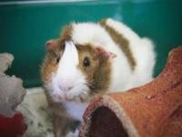 Guinea Pig - Nibbles - Small - Young - Male - Small &