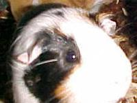 Guinea Pig - Norville - Small - Young - Male - Small &