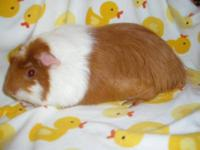 Guinea Pig - Owen - Medium - Young - Male - Small &