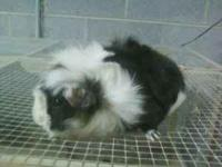 Guinea Pig Pairs. I have two sets of guinea pigs. Two