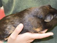 Guinea Pig - Patches (sar 4048) - Small - Adult -