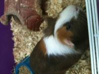 Guinea Pig - Peanut - Small - Young - Female - Small &