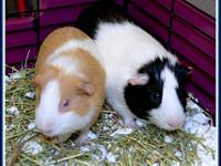 Guinea Pig - Phineas & Ferb* - Medium - Baby - Male