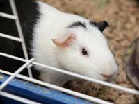 Guinea Pig - Piglet - Small - Young - Male - Small &