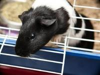 Guinea Pig - Popcorn - Small - Young - Male - Small &