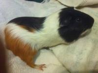 Guinea Pig - Poppa - Small - Adult - Male - Small &