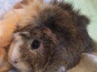 Guinea Pig - Poppy - Small - Adult - Female - Small &