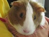 Guinea Pig - Porky And Friends - Small - Young - Male