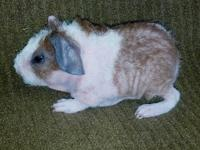 Guinea Pig - Rambo (rambunctious) - Large - Young -