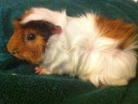 Guinea Pig - Red - Small - Young - Male - Small &
